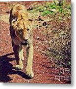 Female Lion Walking. Ngorongoro In Tanzania Metal Print