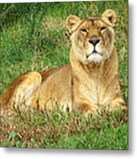 Female Lioness Lying On The Grass In The Afternoon Sun Metal Print