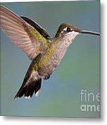 Female Magnificent Hummingbird At Flower Metal Print