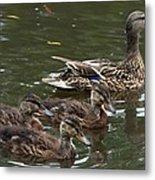 Female Mallard Duck And The Little Ones Metal Print