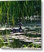 Female Mallard Duck Swimming Metal Print