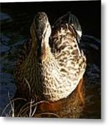 Female Mallard In Pond Metal Print