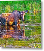 Female Moose Near Airport In Chicken-alaska   Metal Print