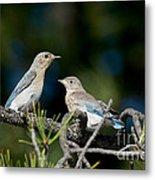 Female Mountain Bluebird With Fledgling Metal Print