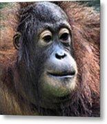 Female Orangutan Borneo Metal Print