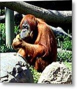 Female Orangutan-san Diego Metal Print