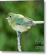 Female Painted Bunting Passerina Ciris Metal Print