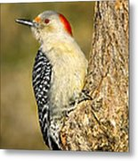 Female Red-bellied Woodpecker Metal Print