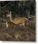 Female Red Deer Suckles Its Young Metal Print