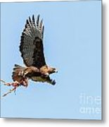 Female Red-tailed Hawk In Flight Metal Print