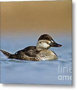 Female Ruddy Duck Metal Print