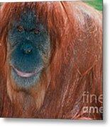 Female Sumatran Orangutan Metal Print