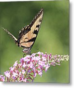 Female Tiger Butterly-1-featured In Macro-comfortable Art And Newbies Groups Metal Print