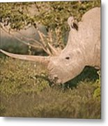 Female White Rhinoceros Grazing Metal Print