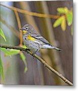Female Yellow-rumped Warbler Metal Print