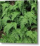 D3b6333-ferns In Sonoma 2  Metal Print