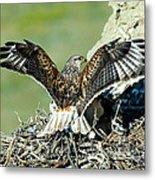 Ferruginous Hawk Male At Nest Metal Print