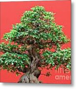 Ficus Bonsai Metal Print