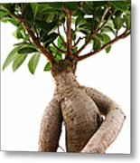 Ficus Ginseng Metal Print