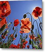 Field Of Poppies At Spring Metal Print