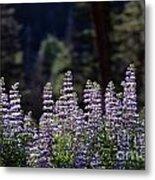 Field Of Summer Wildflowers Backlit Lupine  Metal Print
