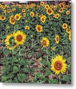 Field Of Sunflowers Metal Print by Adrian Evans