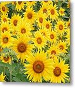 Field Of Sunflowers Helianthus Sp Metal Print