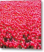 Fields Of Tulips Alkmaar Vicinity Metal Print