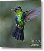 Fiery-throated Hummingbird..  Metal Print