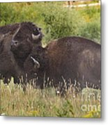 Fighting Bison Metal Print by Mike Cavaroc