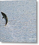 Fighting Chinook Salmon Metal Print