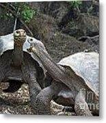 Fighting Galapagos Giant Tortoises Metal Print