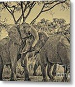 fighting male African elephants Metal Print