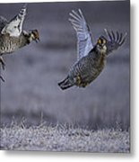 Fighting Prairie Chickens Metal Print by Thomas Young