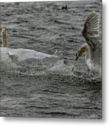 Fighting Swans Metal Print