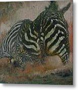 Fighting Zebras Metal Print