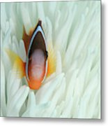 Fiji Anemone Fish (amphiprion Barberi Metal Print