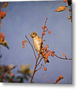 Finch In A Cherry Tree Metal Print