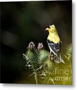 Finch In The Thistles Metal Print