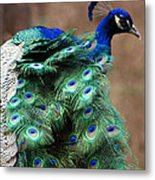 Finely Feathered Metal Print