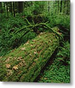 Fir Nurse Log In Rainforest Pacific Metal Print