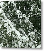 Fir Tree Branch Covered With Snow  Metal Print