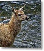 Firehole River Elk Fawn Metal Print