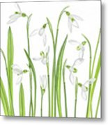 First Snowdrops Metal Print