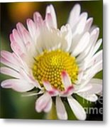 First Spring Daisy Metal Print