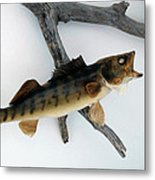 Fish Mount Set 02 A Metal Print