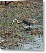 Fishing Blue Heron Metal Print
