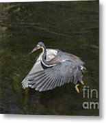 Fishing Tri Colored Heron Metal Print