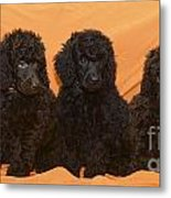 Five Poodle Puppies  Metal Print