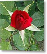 Five Star Red Rose Metal Print